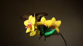 Vlinders op een bloem stock footage