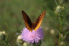 Vlinders op een gebied Stock Foto