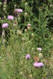 Vlinders op een gebied Stock Fotografie