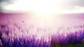 Vlinders op lavendelgebied Concept aard uitzendings Realistische 4k animatie stock video