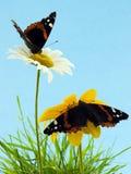 Vlinders op madeliefjes Stock Afbeeldingen