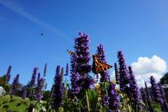 Vlinders op purpere bloem stock foto's