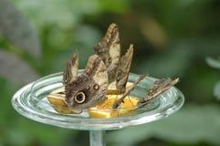 Vlinders op sinaasappelen Royalty-vrije Stock Foto's