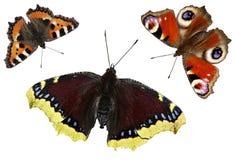 Vlinders op witte achtergrond worden geïsoleerd die Vastgestelde vlinder Stock Afbeelding