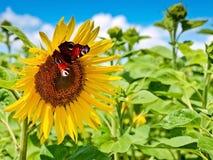 Vlinders op zonnebloem Royalty-vrije Stock Foto's