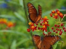 Vlinders tijdens de vlucht Royalty-vrije Stock Afbeelding