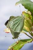 Vlinders: Vrijage in de Lente Stock Foto