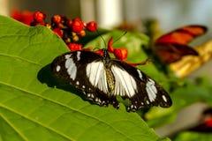 Vlinderverscheidenheden bij Botanische Tuinen Stock Foto's