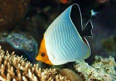 Vlindervissen Royalty-vrije Stock Fotografie
