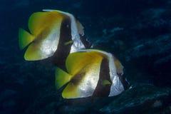 Vlindervissen terwijl vrij duiken in de Maldiven Royalty-vrije Stock Foto