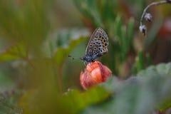 Vlinderzitting op bergbraambes Royalty-vrije Stock Fotografie