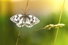 Vlinderzitting op blad met natuurlijke achtergrond Royalty-vrije Stock Afbeelding