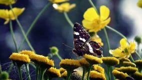 Vlinderzitting op een gele bloem coltsfoot, de lente stock afbeelding