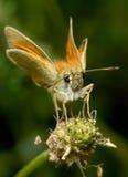 Vlinderzitting op een grassprietje stock afbeeldingen