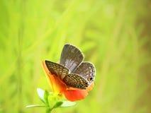 Vlinderzitting op een oranje bloem die achter de bloemblaadjes verbergen Stock Foto