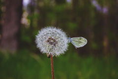 Vlinderzitting op een pluizige paardebloem in de lente Stock Foto's