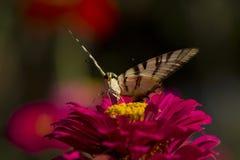 Vlinderzitting op rode bloem