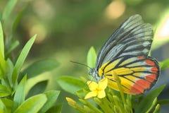 Vlinderzitting over een gele ixorabloemen Royalty-vrije Stock Afbeelding