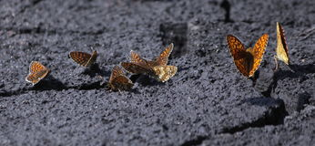 Vlinderzitting ter plaatse stock afbeelding