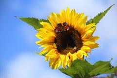 Vlinderzonnebloem Royalty-vrije Stock Foto