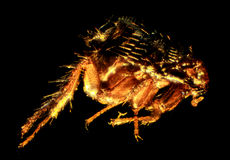 Vlo onder de microscoop (Siphonaptera) stock afbeeldingen