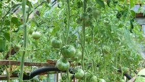 Vloeibare bestrooiing van tomaten in een serre stock videobeelden