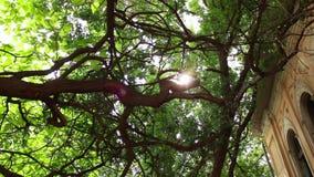 Vloek oud huis Een grote boom is dichtbij een vernietigd en verlaten huis gegroeid stock videobeelden