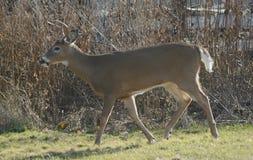 Vloot van Voet Buck Deer royalty-vrije stock afbeelding