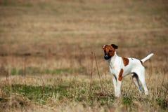 Vlot-haired fox-terrier stock foto