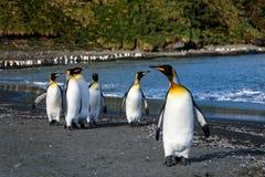 Vlot van Koning Penguins die op het strand bij St Andrews Bay, Zuid-Georgië lopen stock foto