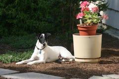 Vlotte Fox-terrierhond Royalty-vrije Stock Afbeeldingen