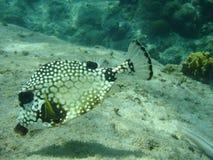 Vlotte Trunkfish, Caribbbean Royalty-vrije Stock Foto