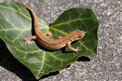 Vlotte vulgaris newt of gemeenschappelijke newt/Lissotriton Royalty-vrije Stock Foto's