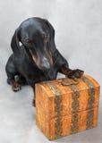 Vlotte zwarte en tan tekkel met metaal-behandelde houten uitstekende kist Royalty-vrije Stock Afbeeldingen