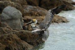 Vlucht 3 van de pelikaan Stock Foto