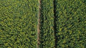 Vlucht boven landbouwmechanismesporen in bloeiend geel raapzaadgebied stock video