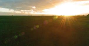 Vlucht boven landelijk de zomerlandschap met eindeloos geel gebied bij zonnige de zomeravond Landbouwlandbouwgrond bij de herfst stock footage