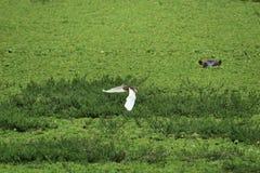Vlucht en Hippo Stock Foto's