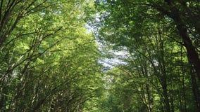 Vlucht onder kronen van groene bomen in bos Dikke vegetatie Mooi bos stock videobeelden