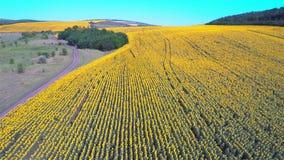 Vlucht over een gebied van zonnebloemen stock videobeelden