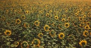 Vlucht over het gebied met zonnebloemen op een hete dag stock video