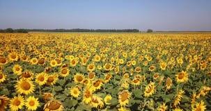 Vlucht over het gebied met zonnebloemen op een hete dag stock videobeelden