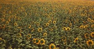 Vlucht over het gebied met zonnebloemen op een hete dag stock footage