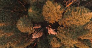 Vlucht over het Sequoia Nationale Park hommel 4K Nov. 2017 stock videobeelden