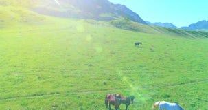 Vlucht over wild paardenkudde op weide De wilde aard van de lentebergen Het concept van de vrijheidsecologie stock video