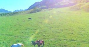Vlucht over wild paardenkudde op weide De wilde aard van de lentebergen Het concept van de vrijheidsecologie stock footage