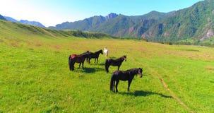 Vlucht over wild paardenkudde op weide De wilde aard van de lentebergen Het concept van de vrijheidsecologie stock videobeelden