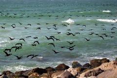 Vlucht van aalscholvers Royalty-vrije Stock Fotografie