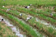 Vlucht van aigrette op geoogst padieveld Royalty-vrije Stock Foto