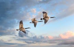 Vlucht van de Ganzen Royalty-vrije Stock Afbeelding